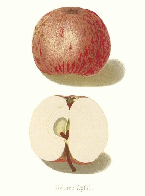 Apfelbaum Heuchelheimer Schneeapfel