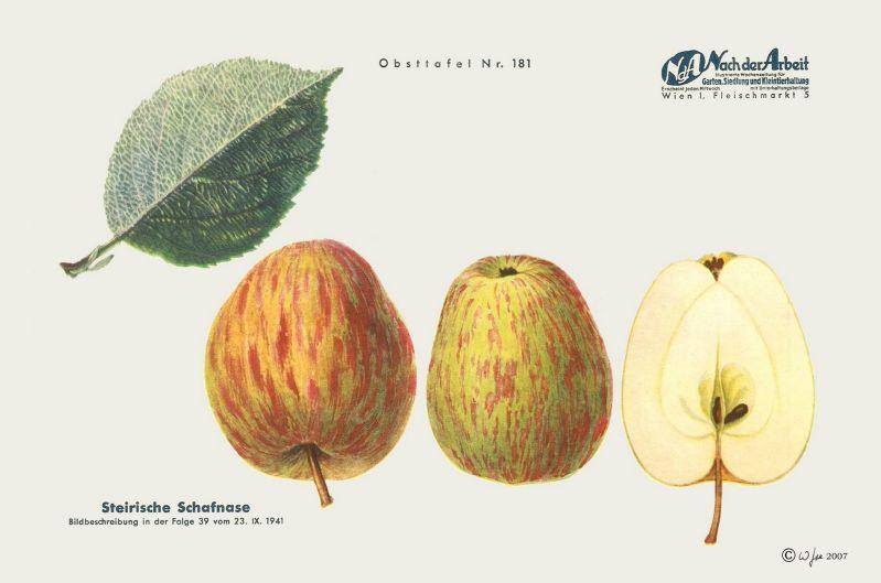 Apfelbaum Steirische Schafsnase