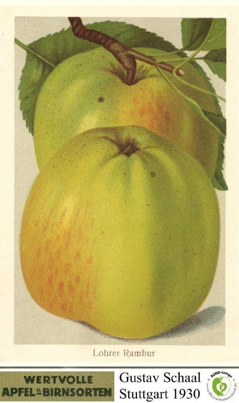 Apfelbaum Lohrer Rambur