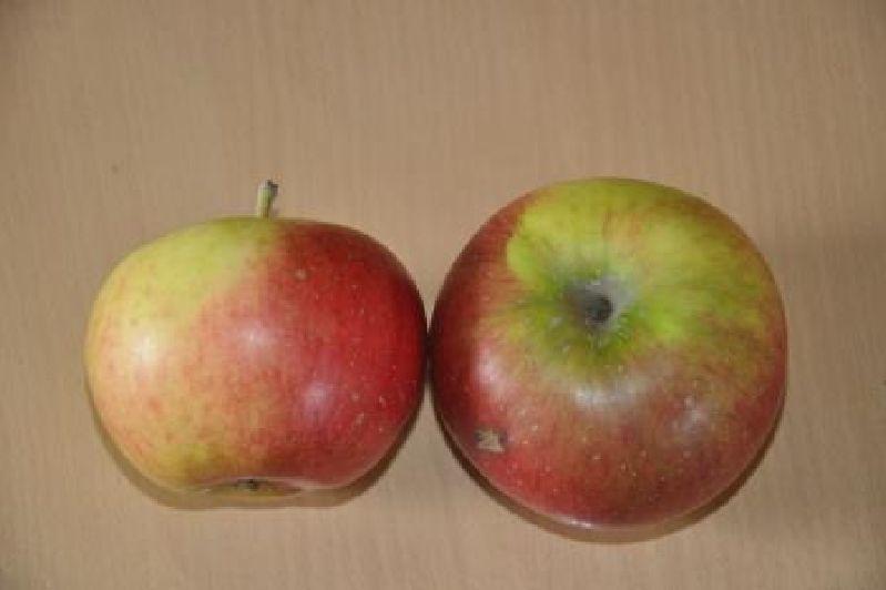 Apfelbaum Bayhs Mostapfel