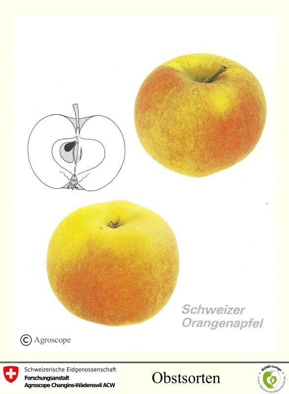 Apfelbaum Schweizer Orangenapfel