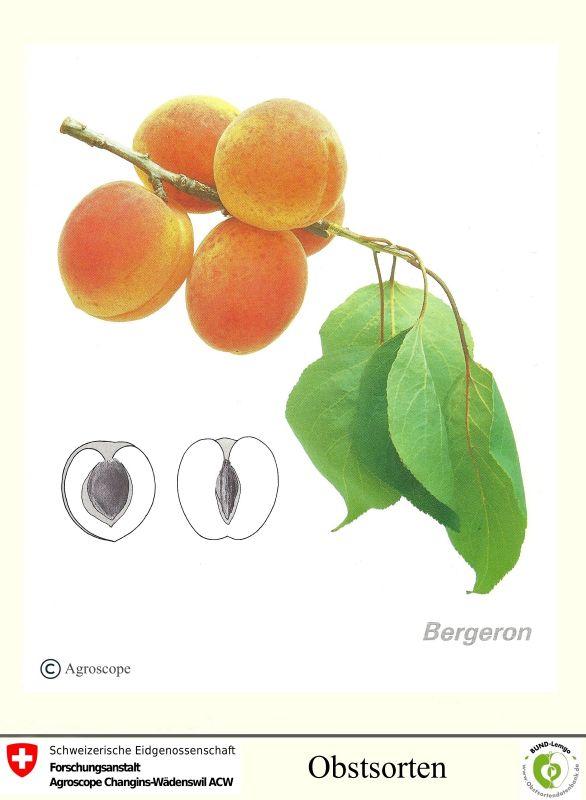 Aprikose Bergeron