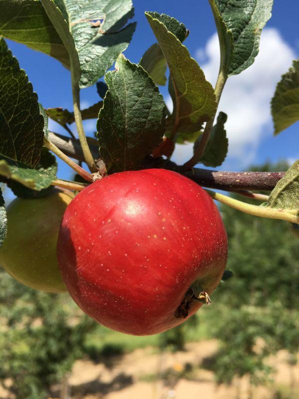 Apfelbaum Ruhm aus Kelsterbach