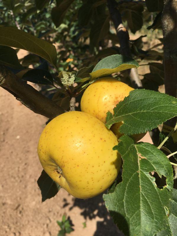 Apfelbaum Korbacher Edelrenette