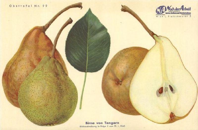 Birnbaum Tongern