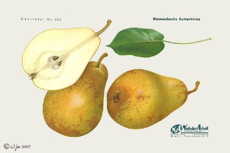Birnbaum Blumenbachs Butterbirne