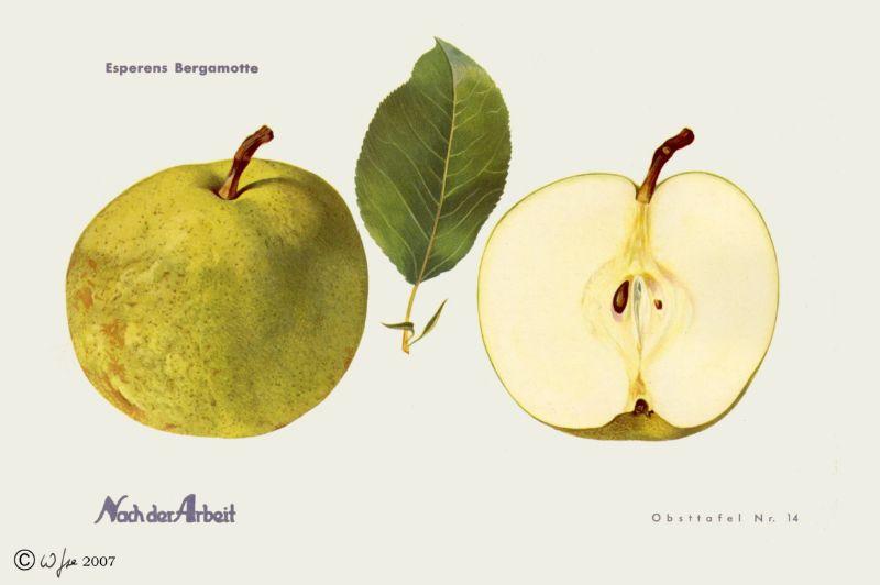 Birnbaum Esperens Bergamotte