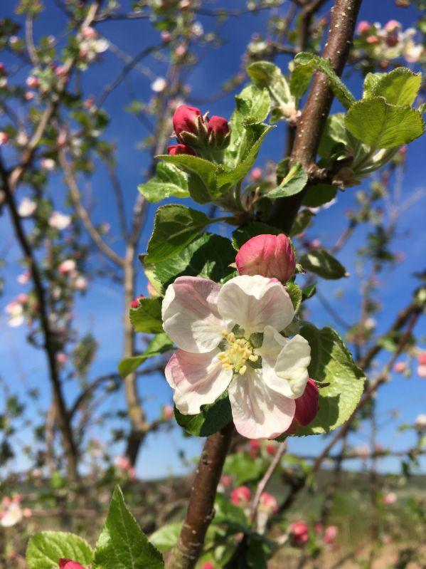 Apfelbaum Florina