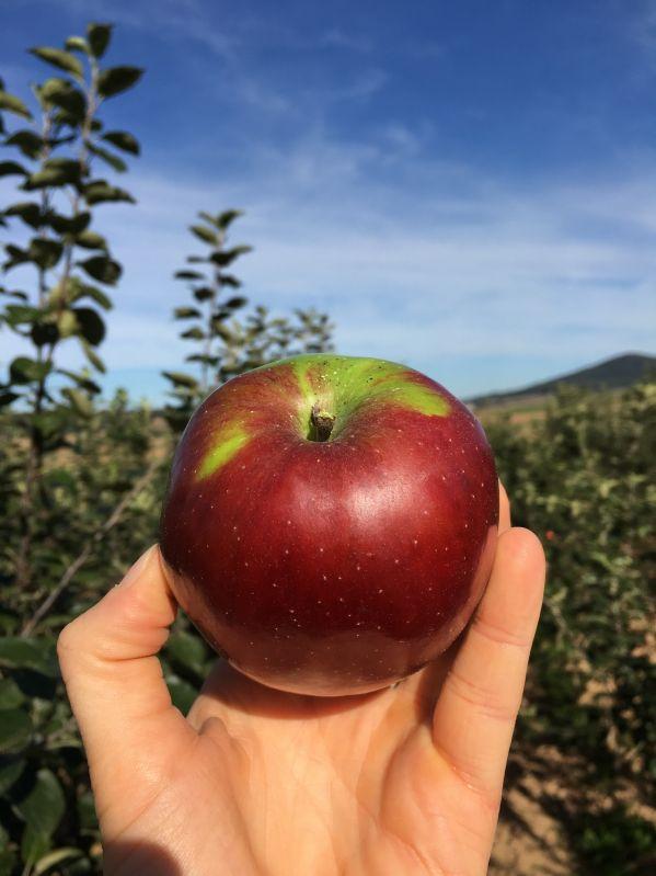 Apfelbaum Roter Bellefleur
