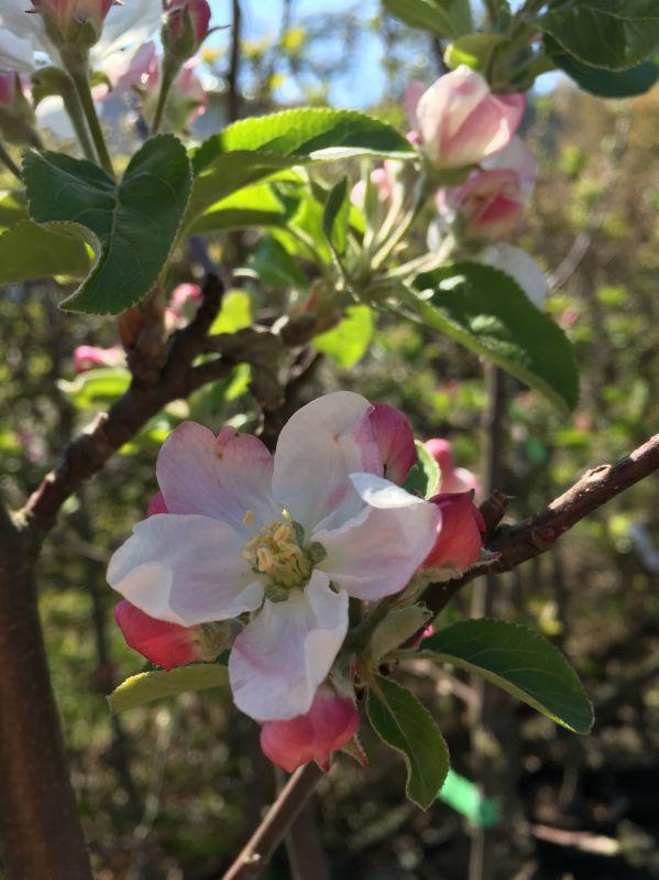 Apfelbaum Wagnerapfel