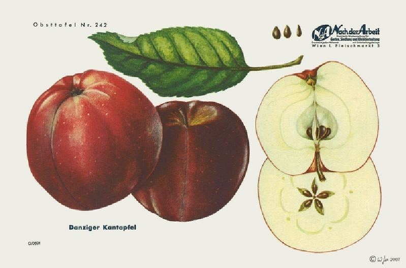 Apfelbaum Danziger Kantapfel