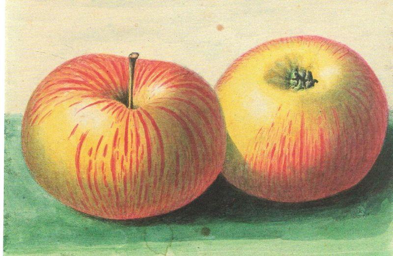 Apfelbaum Linsenhofer Renette