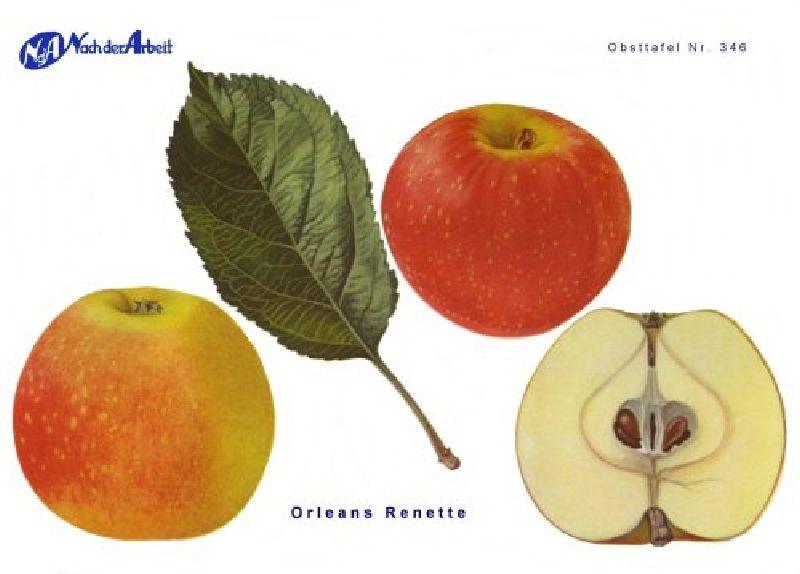 Apfelbaum Orleansrenette