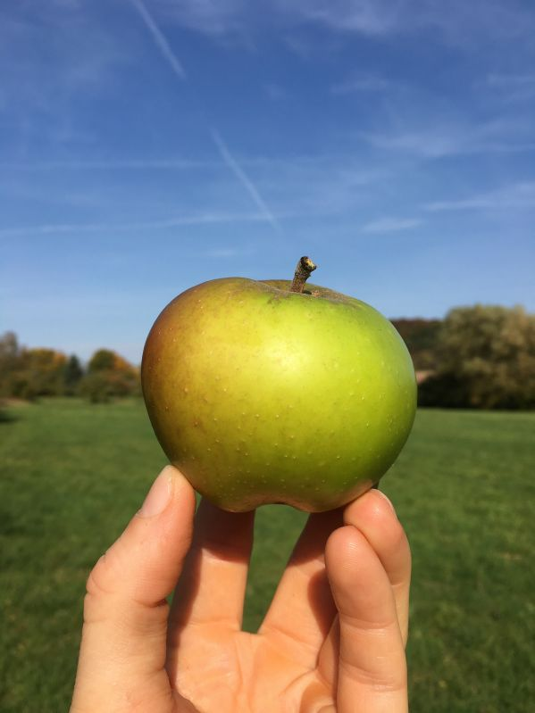 Apfelbaum Riesenboiken