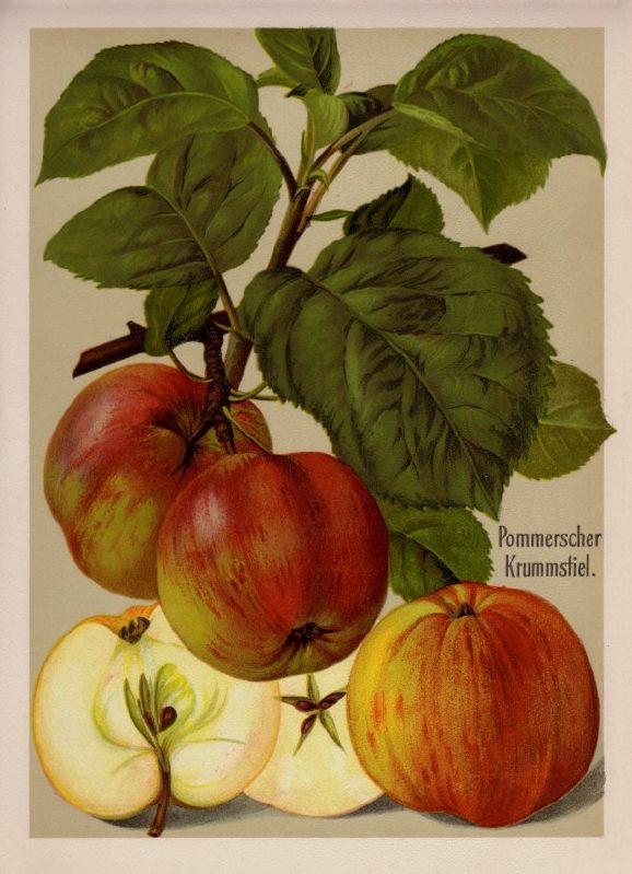 Apfelbaum Pommerscher Krummstiel