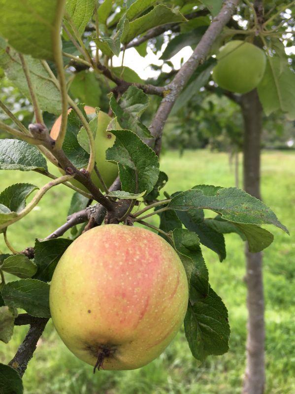 Apfelbaum Martini