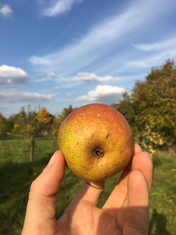 Birnbaum Gute Luise von Avranches