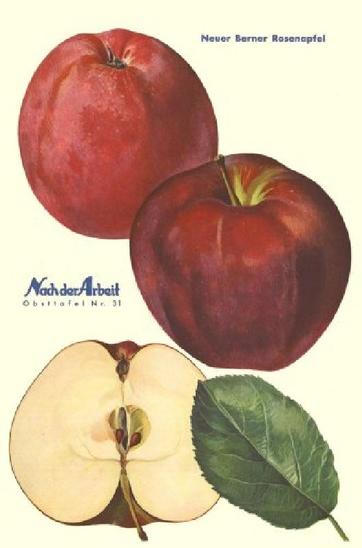 Apfelbaum Berner Rosenapfel