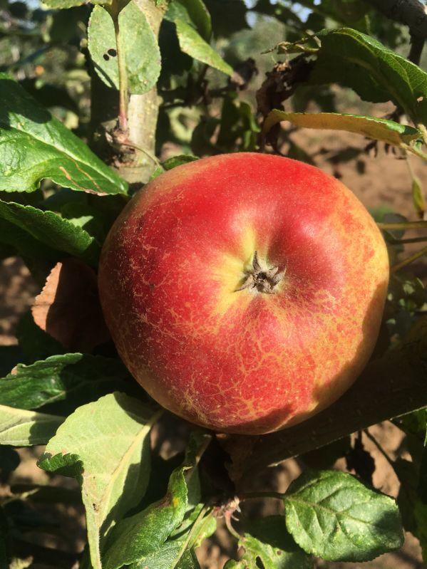 Apfelbaum Roter Allergikerapfel