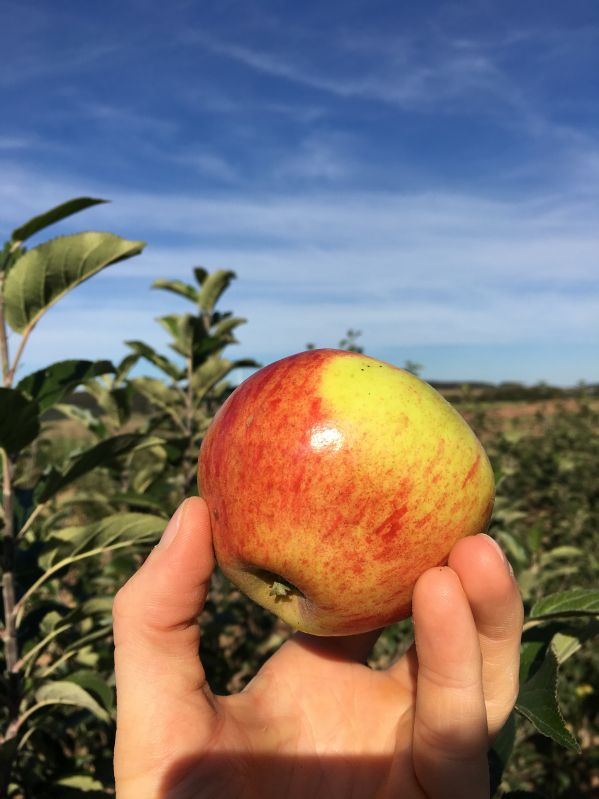 Apfelbaum Waldecker Nr. 1