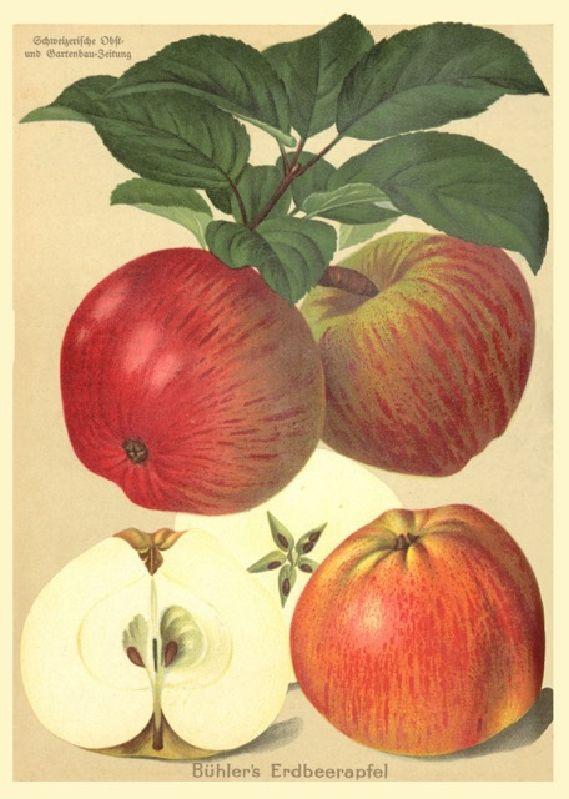 Apfelbaum Erdbeerapfel