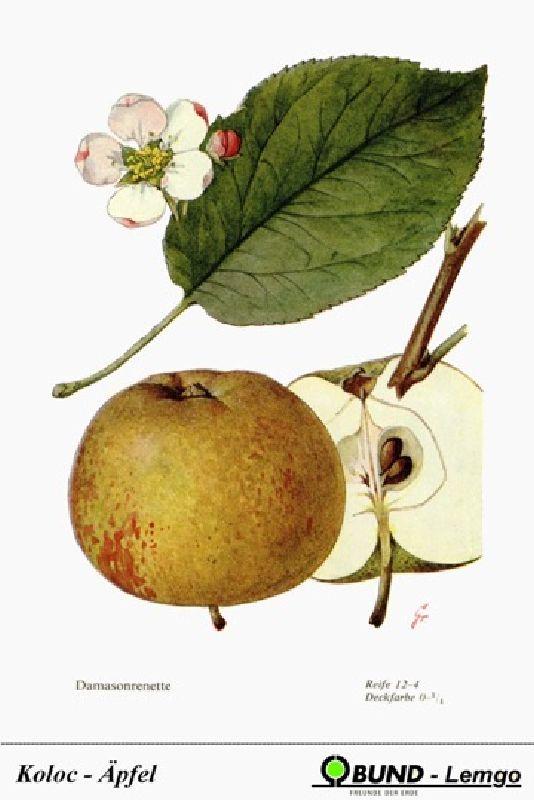 Apfelbaum Damason Renette
