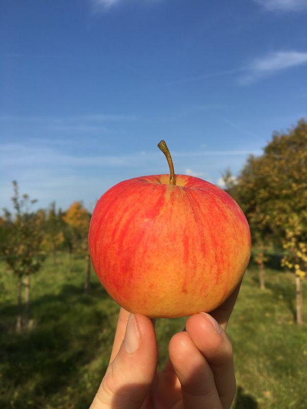 Apfelbaum Teser