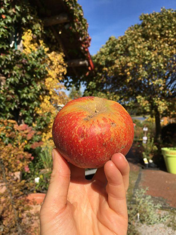 Apfelbaum Holsteiner Cox