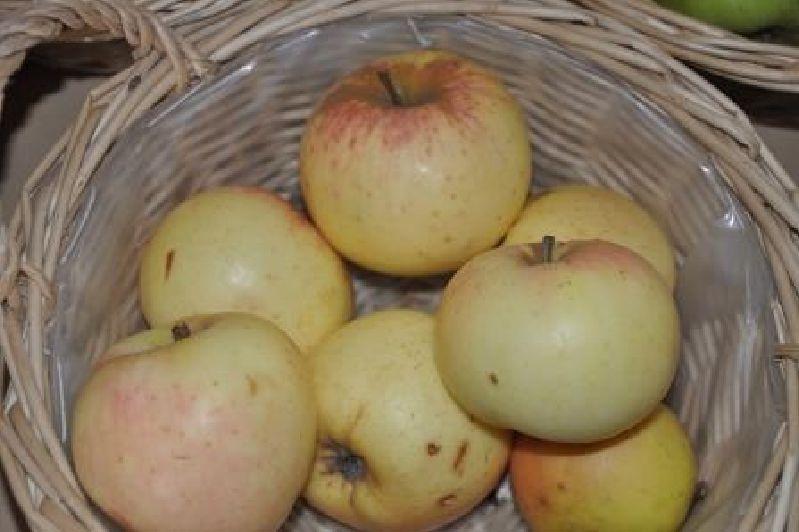 Apfelbaum Twister Weinapfel