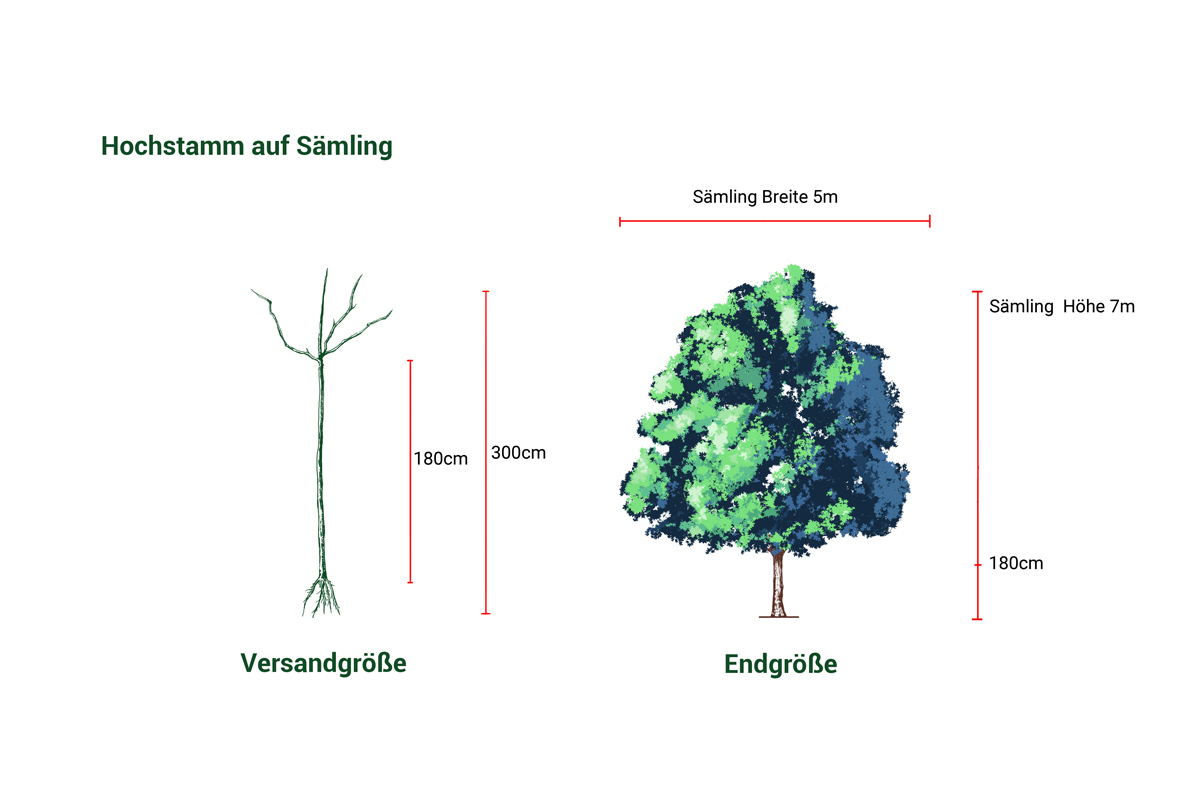 Apfelbaum Erbachhofer Weinapfel