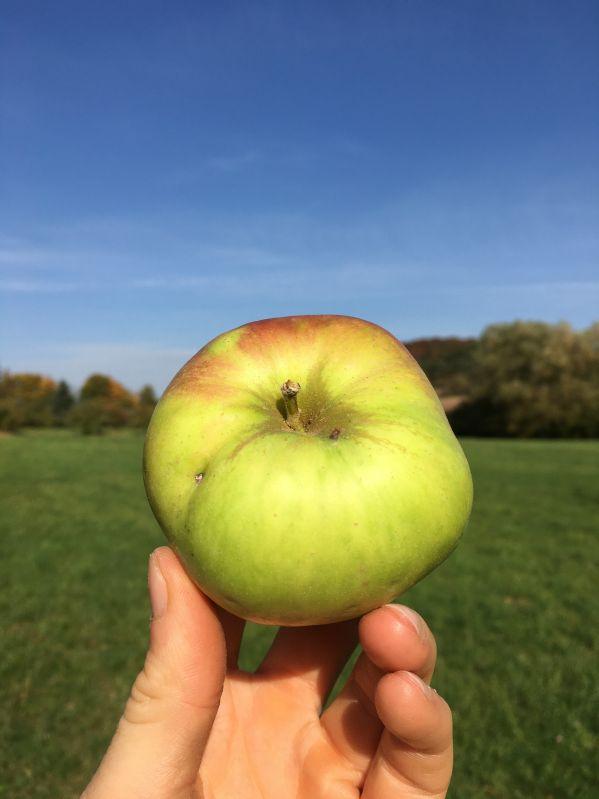Apfelbaum Adersleber Kalvill