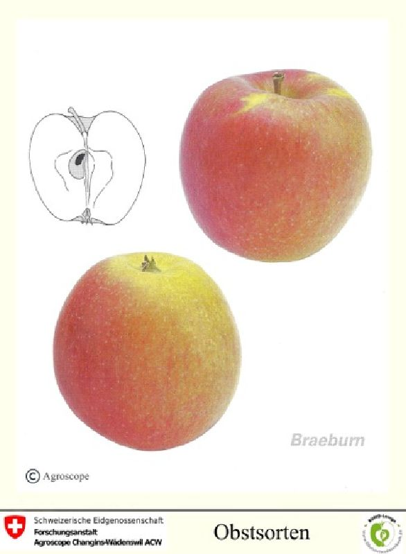 Apfelbaum Braeburn Typ Schneider