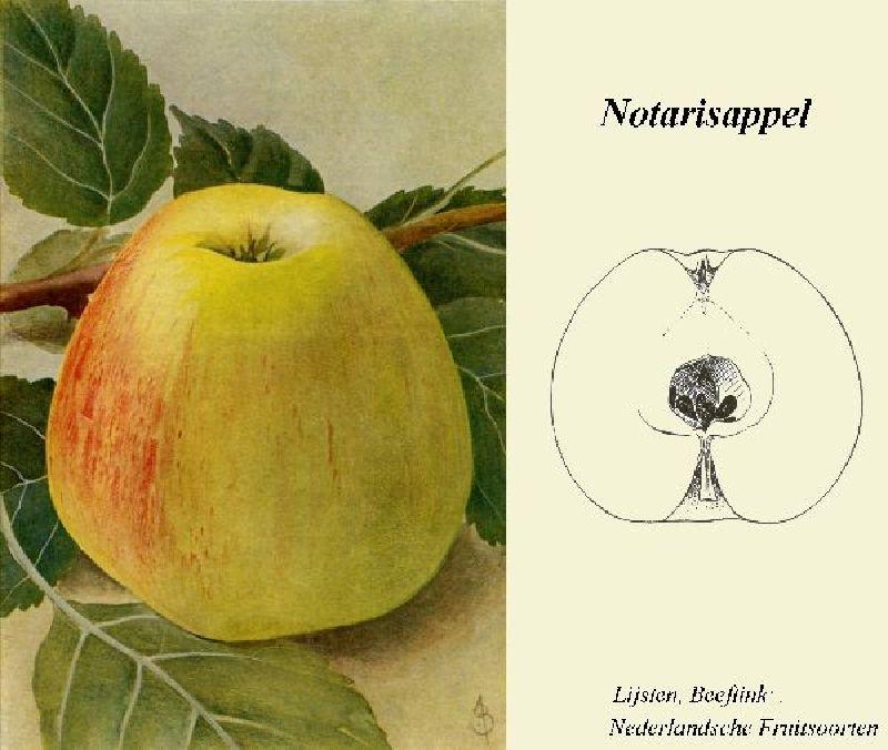 Apfelbaum Notarisapfel