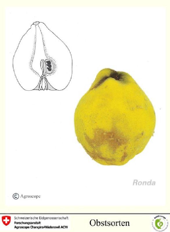 Birnenquitte Ronda