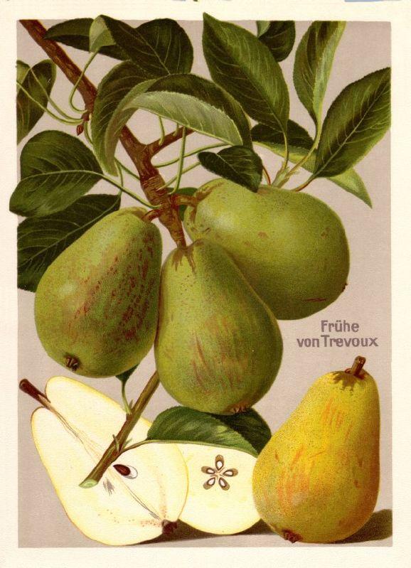 Birnbaum Frühe von Trevoux