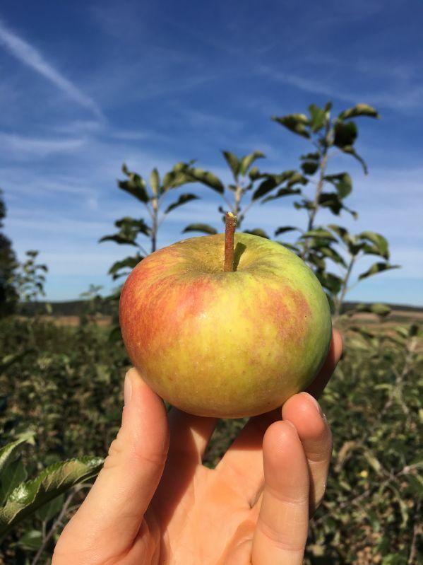 Apfelbaum Auralia