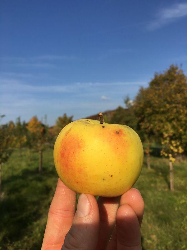 Apfelbaum Schöner aus Nordhausen
