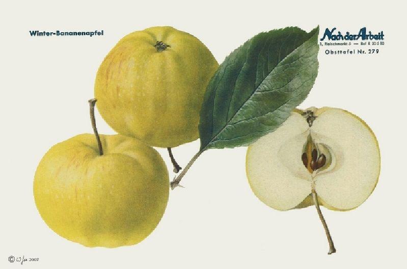 Apfelbaum Winterbananenapfel