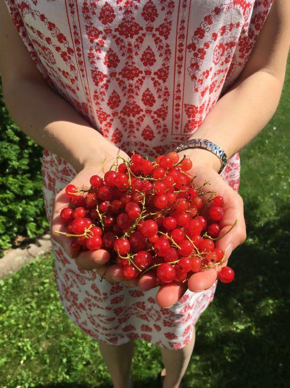 Rote Johannisbeere Rotet