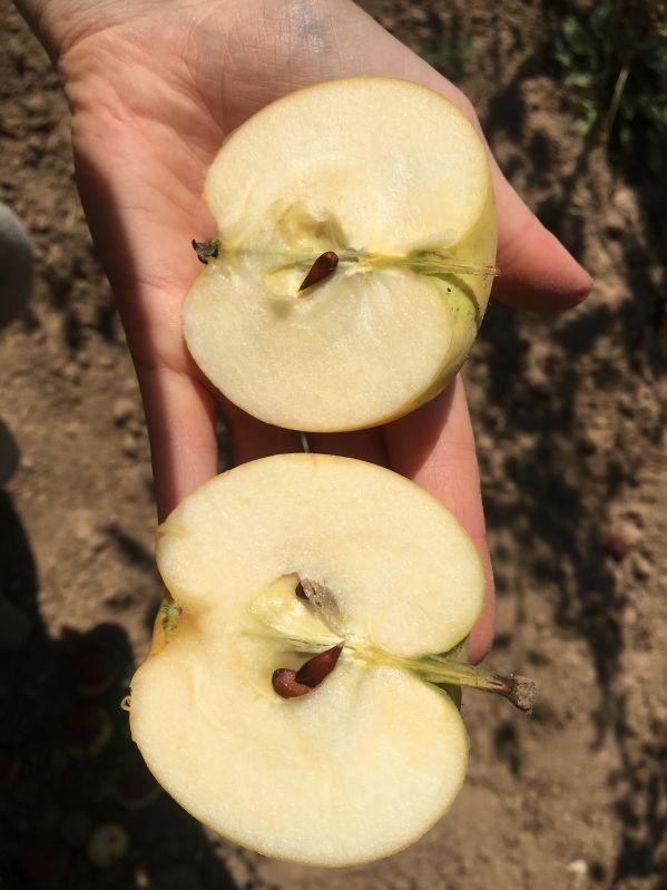 Apfelbaum Helios