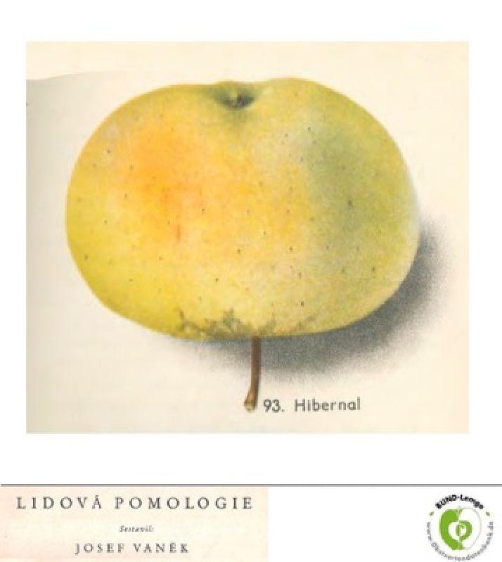 Apfelbaum Hibernal