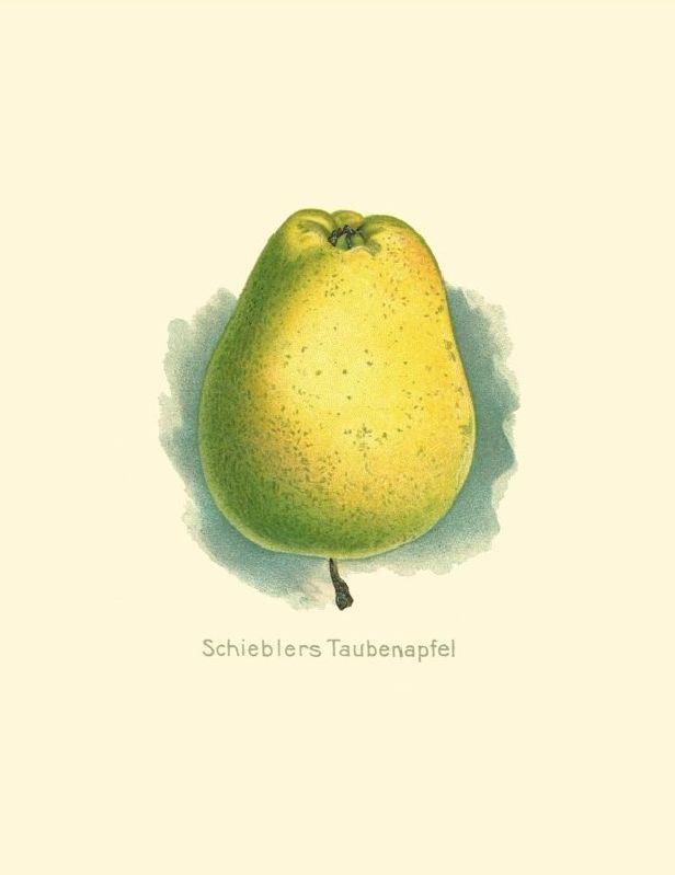 Apfelbaum Schieblers Taubenapfel