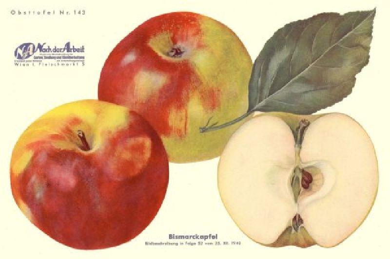 Apfelbaum Bismarckapfel