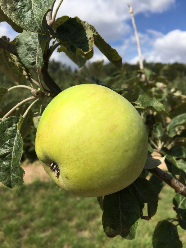 Apfelbaum Schöner aus Wiltshire