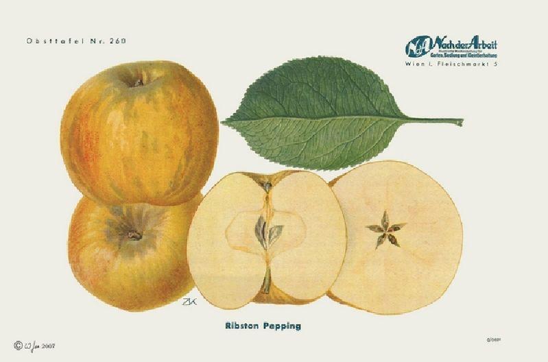 Apfelbaum Ribston Pepping