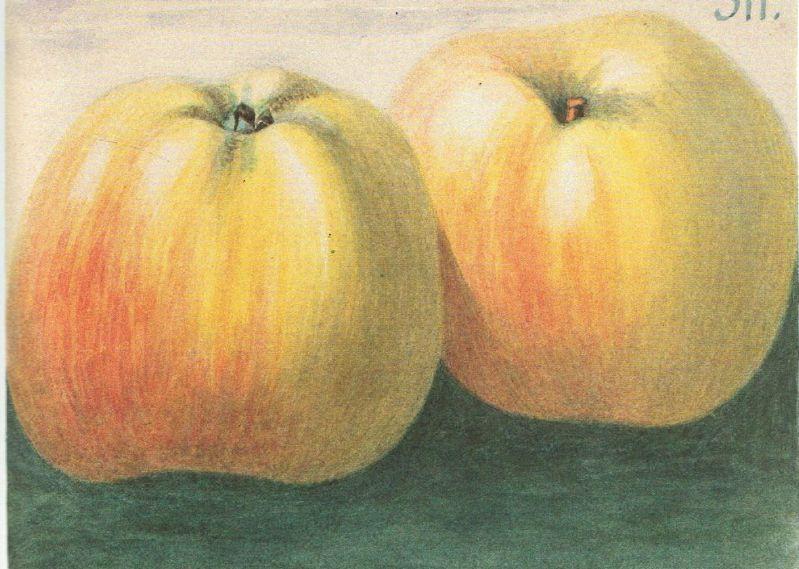 Apfelbaum Schöner aus Wiedenbrück