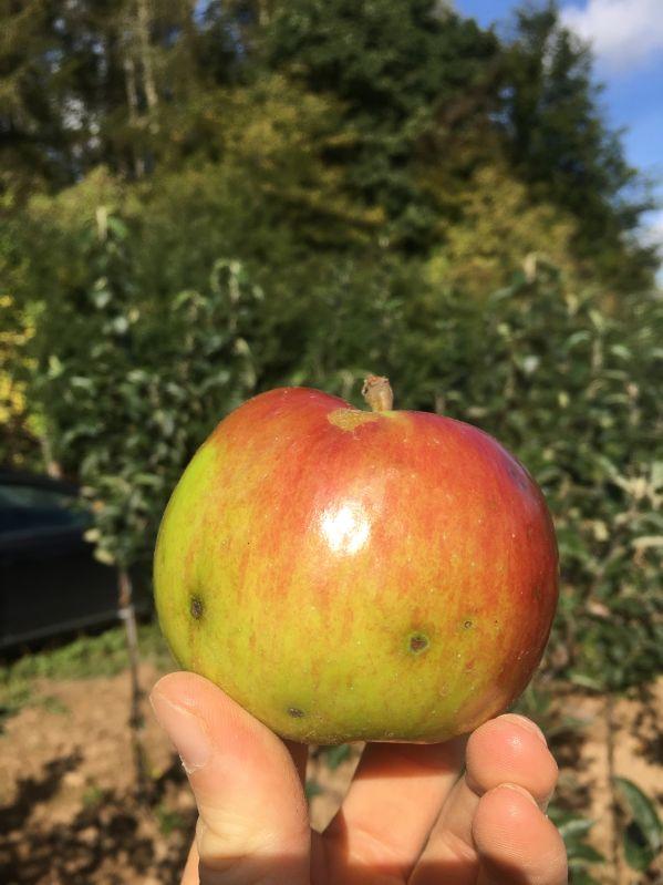 Apfelbaum Idared
