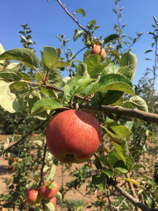 Apfelbaum Cox Pomona