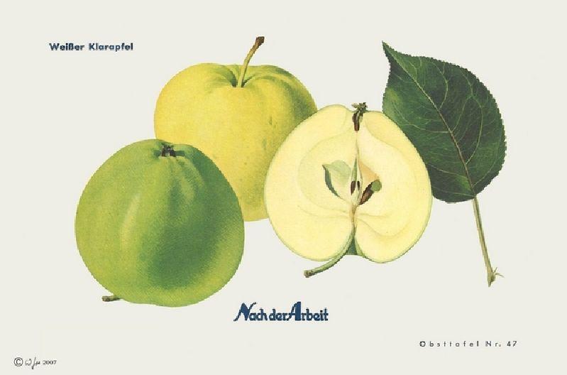 Apfelbaum Weißer Klarapfel
