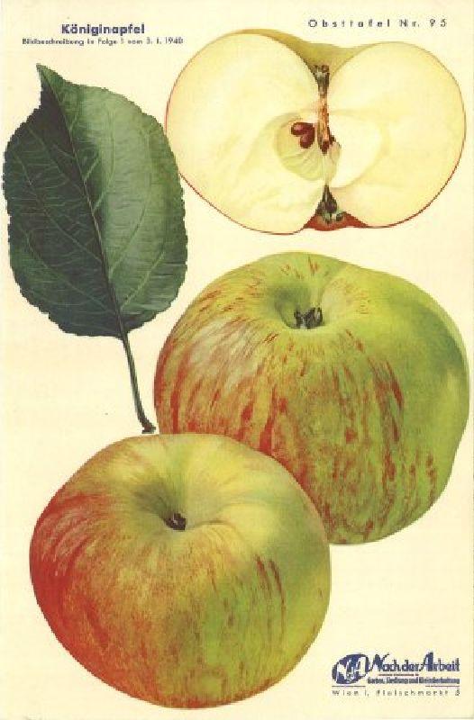 Apfelbaum Königinapfel